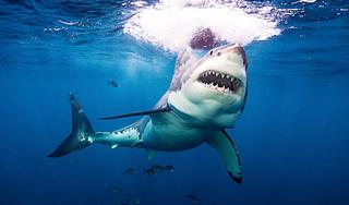 В Хургаде белая акула напала на человека  Происшествия